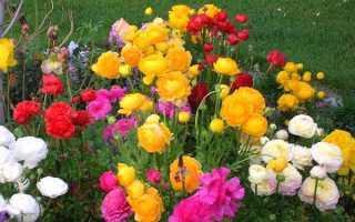 Вирощування жовтців садових — особливості посадки навесні і восени, правила догляду, відео