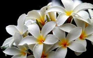 Плюмерія квітка. Вирощування плюмерии. Догляд за Плюмерія
