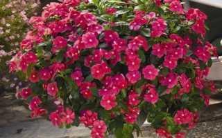 Катарантус — вирощування з насіння в домашніх умовах з фото і відео. Коли і як сіяти на розсаду