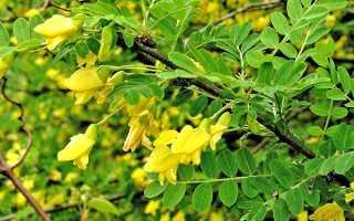 Жовта акація, карагана деревоподібна — посадка, вирощування, відео