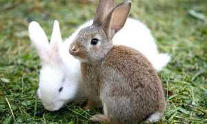 Породи кролів — з фото і описом, декоративні, карликові м'ясні