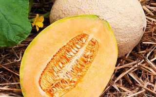 Диня — вирощування у відкритому грунті, домашніх умовах. чому тріскаються дині, фото, відео