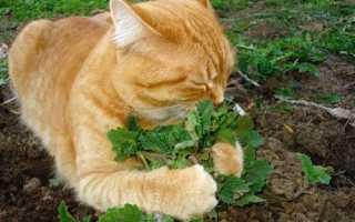 Для чого потрібна котяча м'ята, фото і опис, м'ята для котів, відео