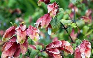Белопероне квітка. Опис, особливості, види і догляд за белопероне