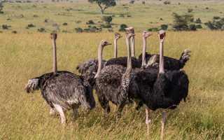 Зміст страусів — приміщення, чим харчуються, несучість, вагу, відео