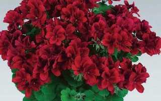 Пеларгонія квітка. Опис пеларгонії. Види і догляд за пеларгонії