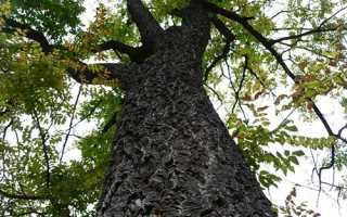 Коркове дерево — де росте, властивості, де використовується, відео
