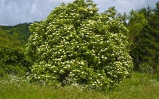 Бузина. Догляд, вирощування, розмноження. Лікарські рослини. Декоративно-квітучі, листяні. Чагарники. Фото.