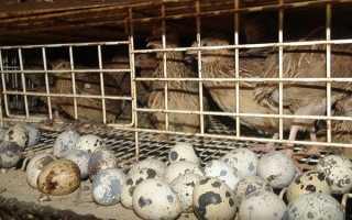 Як містити перепілок несучок в домашніх умовах, в якому віці починають нестися перепела і скільки яєць несуть в день, відео