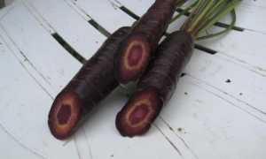Чорна морква — що це таке де росте, лікувальні властивості соку, рекомендації по вирощуванню