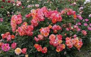 Що таке поліантові троянди, відео