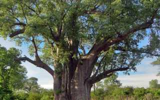 Сандалове дерево — чим пахне, властивості, ефірну олію, відео