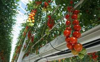 Метод Терьохіних по вирощуванню томатів, жорстка пікіровка, відео