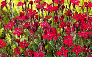 Гвоздика травянка — посадка і догляд, вирощування з насіння, відео