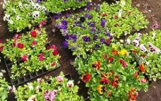Як виростити розсаду віоли — коли садити, відео, догляд