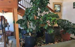 Кавове дерево — догляд в домашніх умовах, як виростити, фото, відео