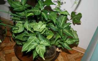 Види сингоніум для вирощування вдома — ножколістний, ушковатий, Вендленда, цікаве про рослину, відео