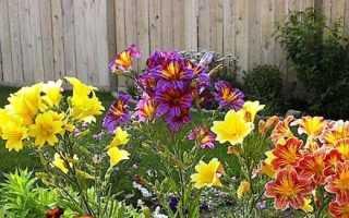 Сальпиглоссис — вирощування з насіння, коли садити на розсаду. Сорти з фото