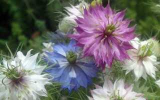 Нігелла квітка. Опис, особливості, види і догляд за нигелла