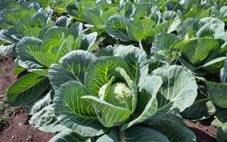 «Ледача» капуста, або Вирощуємо капусту без розсади. Підготовка грядки, посів, догляд. фото