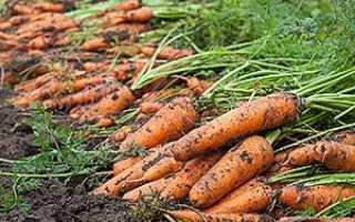 Як правильно сіяти моркву, щоб вона швидко зійшла + відео