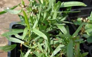 Естрагон. Тархун. Полин естрагон. Догляд, вирощування, розмноження. Лікарські. Пряно-ароматичні трави. Садові рослини. Сорти. Фото.