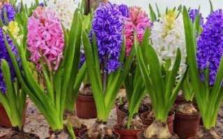 Вигонка гіацинтів до 8 березня в домашніх умовах, покрокова інструкція