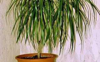 Чому у драцени жовтіють листя і сохнуть кінчики листових пластин, хвороби рослини і їх лікування, фото, відео