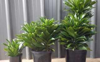 Драцена Компакта — правила вирощування та догляду, підживлення, відео