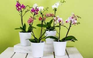 Орхідеї: види і правила підгодівлі