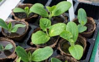 Патисони — вирощування через розсаду, терміни посіву насіння, відео
