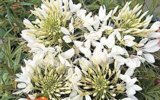 Клеома: вирощування з насіння, коли садити на розсаду Посадка і догляд Сорти з фото