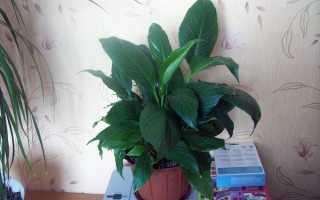 Спатифіллум не цвіте, правила догляду для появи квітконоса, відео