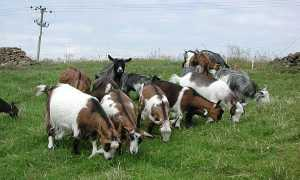 Породи кіз — фото з описом зааненской, англо-нубійської, карликової, альпіской, бурської, чеської, ангорської породи, відео