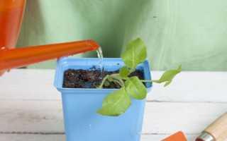 Як часто потрібно поливати розсаду петунії в домашніх умовах: фото, відео