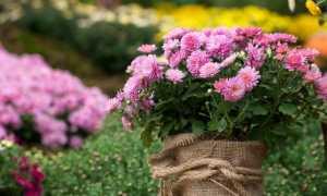 Вирощування хризантем на продаж, або Квіти як бізнес. Технологія вирощування. фото