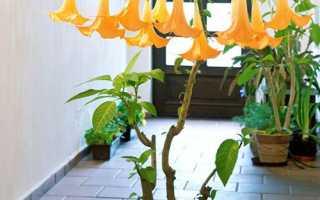 Бругмансія — догляд в домашніх умовах, підсвічування і вирощування з насіння