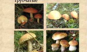 Трубчасті гриби — фото з описом їстівних, неїстівних та отруйних грибів, фото, відео