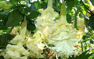 Бругмансія махрова — диво дерево в саду, вирощування, догляд, відео