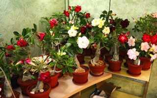 Адениум будинку — сорти обессум, огрядний, арабікум, троянда пустелі, квітка, фото, відео