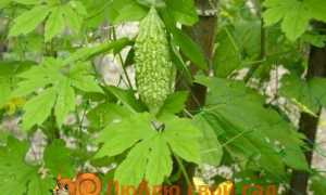 Що за рослина момордика?