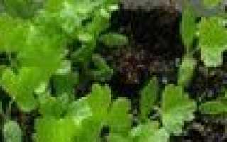 Як виростити кореневої селера через розсаду