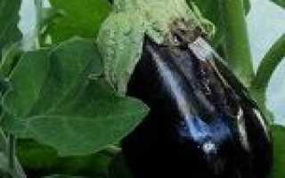 Павутинний кліщ на баклажанах як боротися, ніж обробити