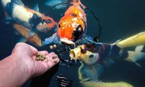 Корм для рибок акваріумних та ставкових — сухий, живий, відео