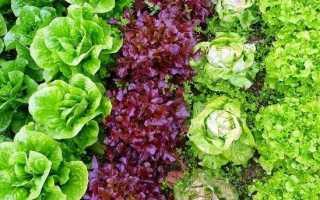Вирощування салату. Як і коли садити салат? Догляд за салатом