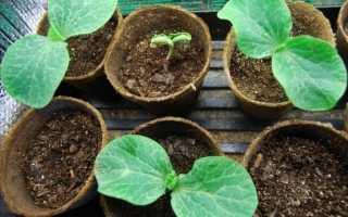 Вирощуємо розсаду гарбуза за правилами. Коли садити? Вирощування в домашніх умовах