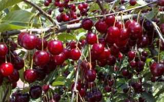 Вишня — як підвищити врожайність дерева, внесення підгодівлі, відео