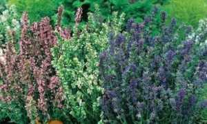 Иссоп вирощування з насіння: фото, відео, опис, види і сорти, посадка і догляд