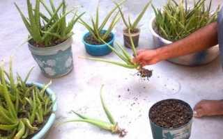 Як розмножити алое в домашніх умовах вегетативно і насінням, відео