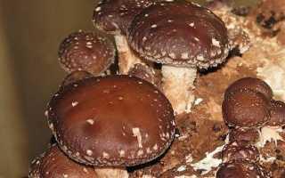 Шиітаке гриби. Вирощування шиітаке. Догляд за шиітаке